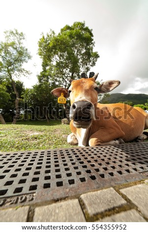 cow relax
