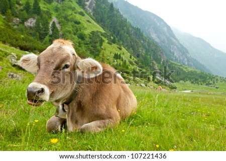 Cow relaxing in alpine meadow - stock photo