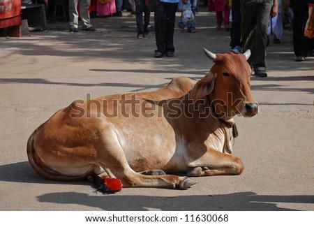cow resting at camel fair pushkar - stock photo