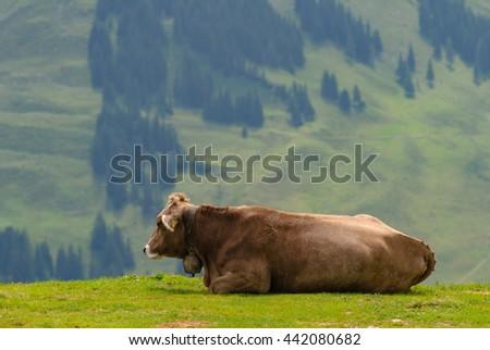 Cow resting on the Kronberg Meadows in the Swiss Alps. Overlook on the Alpstein Mountain Range. Canton of Appenzell Innerrhoden, Switzerland. - stock photo