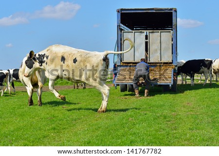 cow run and jump happy in green  field after livestock transport - stock photo