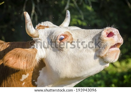Cow's profile - stock photo
