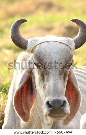 Cow Sitting On The Field, Thailand - stock photo