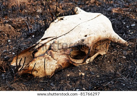 Cow skull - stock photo