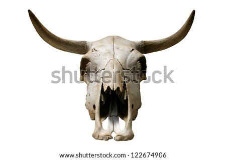 Cow skull on white background. - stock photo