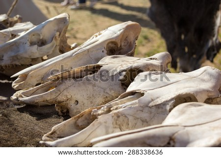 cow skulls lying on the animal furs - stock photo