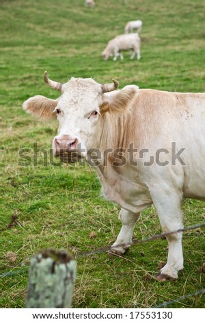 Cow standing in a meadow and looking