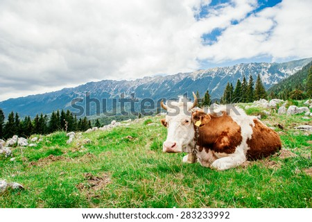Cow standing on top of mountain in Transylvania - stock photo