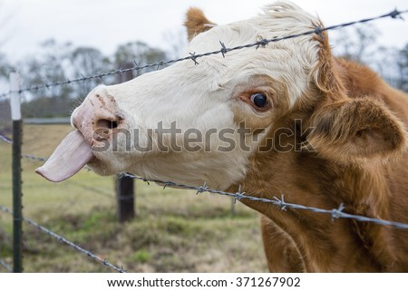 Cow Sticking out its Tongue - stock photo