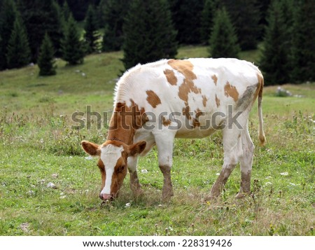 cow to pasture grazing alpine meadow grass - stock photo