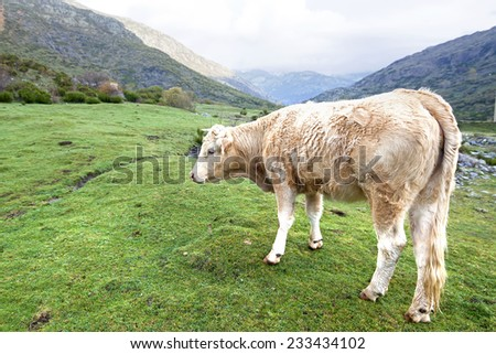 Cow up in the mountain. - stock photo