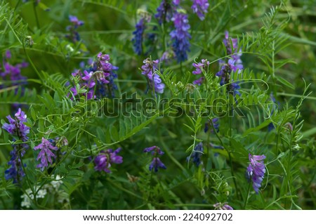 Cow vetch (Vicia cracca) flowers in a field closeup