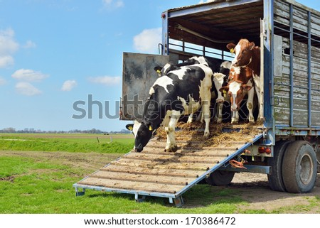 cow walking out of transport trailer into green meadow - stock photo