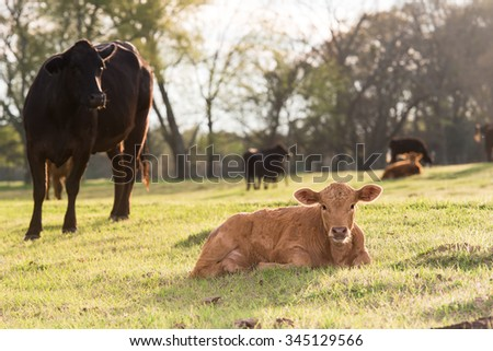 cow watching her calf