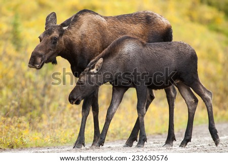 Cow Western moose (Alces alces andersoni) adult female walking with calf under the rain. Alberta, Canada, North America.