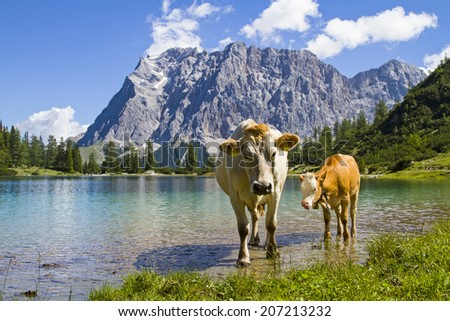 Cow with calf on a meadow at Seebensee lake in Tyrol - stock photo