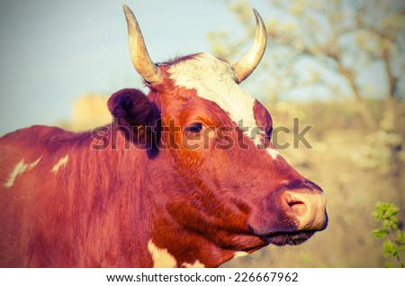 Cow with horns looks into the distance. Vintage composition - stock photo