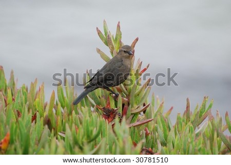 Cowbird Perched in Ice Plant at Pescadero, CA
