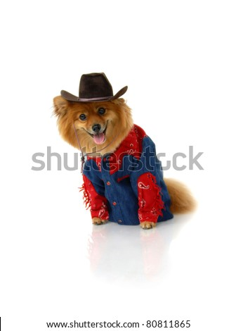 Cowboy Pomeranian is wearing a denim and red shirt.  He is also sporting a brown cowboy hat.  He is sitting in an all white room and looking anxiously for his horse. - stock photo