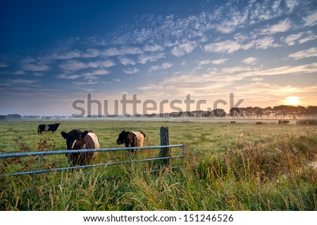 cows and bull on summer pasture at sunrise - stock photo