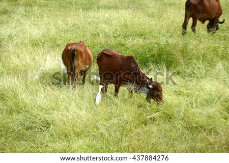 Cows and bulls grazing on lush grass field