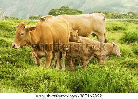 cows and calves grazing in the green mountains of Cape Ortegal, Galicia, Spain - stock photo