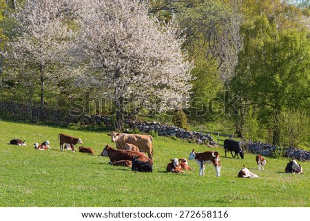 Cows and calves lying down on the meadow at spring - stock photo