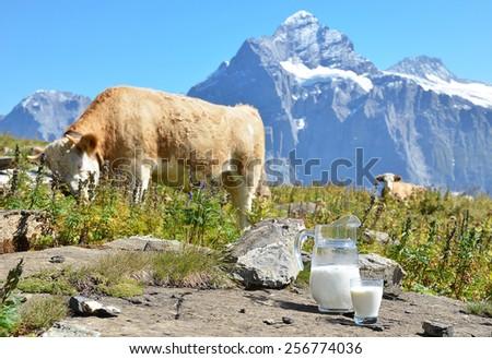 Cows and milk. Switzerland - stock photo