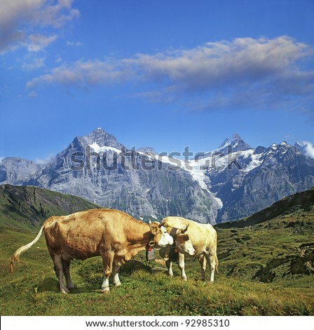 Cows and mountains Bernese Alps, Bernese Oberland, Switzerland, World Heritage Site by UNESCO