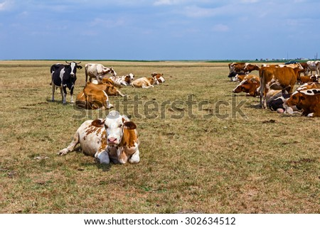Cows and young heifers are relaxing quietly in the meadow on summer pasture. Cows are resting in a meadow. - stock photo