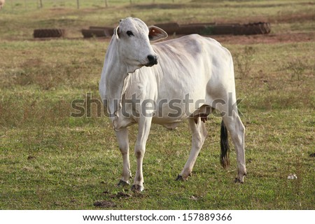 cows at a cattle farm or ranch in brazil - stock photo