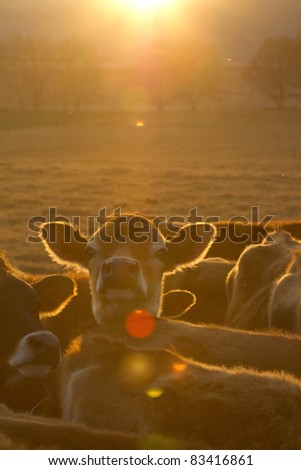 Cows at dusk with the setting sun. - stock photo