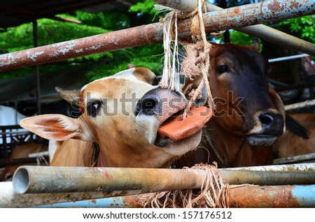 Cows brown . - stock photo