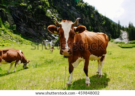 Cows. Cows grazing on a green field. Cows on the alpine meadows. Beautiful alpine landscape with cows.