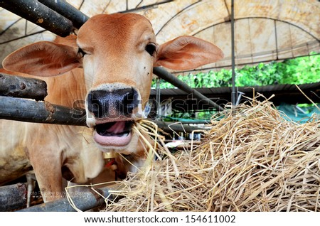 Cows eat hay. - stock photo