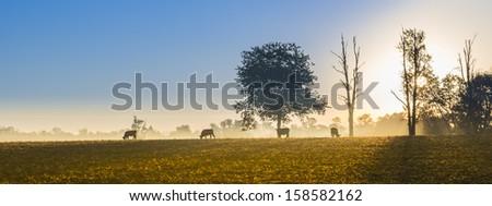 Cows Feeding at Sunrise - stock photo