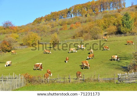 Cows feeding in a field - stock photo