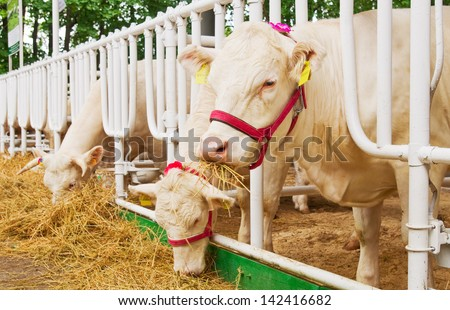 cows feeding in large cowshed - stock photo