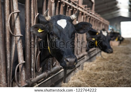 cows feeding in large cowshed on a farm - stock photo