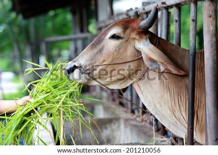 Cows grazing - stock photo