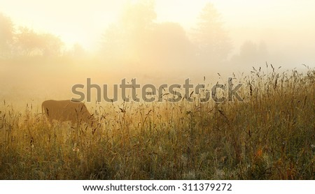 cows grazing at dawn