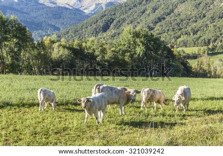 cows grazing at the meadow in the Alpes near Seyne - stock photo