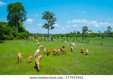 Cows grazing in a fresh green summer field - stock photo