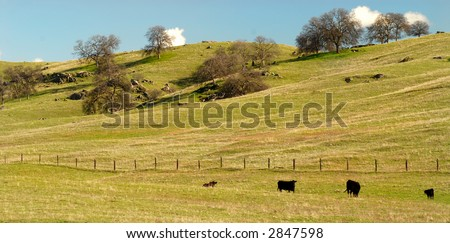 Cows grazing in a sunfilled pasture in the California hills - stock photo