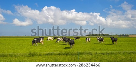 Cows grazing in a sunny meadow in spring - stock photo