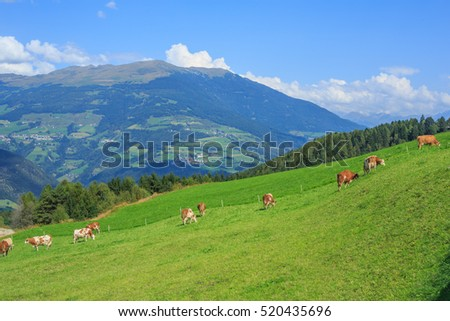 Cows grazing in alpine meadows, Dolomites, Italy
