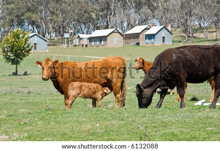 cows grazing in the field with young calf drinking from its mother - stock photo