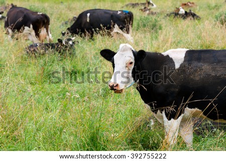 Cows grazing in the fields around Lake LLanquihue, X Region, Chile - stock photo
