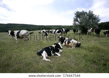 Cows grazing on a farmland