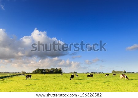 Cows grazing on a grassland in a typical dutch landscape on a sunny day - stock photo